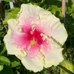 angel's wings hibiscus flower