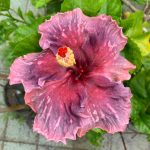 cch true blood love hibiscus flower