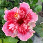 caribbean fiesta hibiscus flower