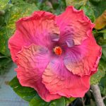 creole lady hibiscus flower