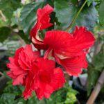 el capitolio hibiscus flower