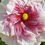 fantasy charm hibiscus flower