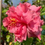 h kona hibiscus flower