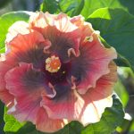 kris' choice hibiscus flower