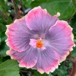 moorea boondah boo hibiscus flower