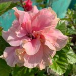 peachblow hibiscus flower