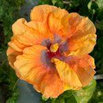 ringleader hibiscus flower