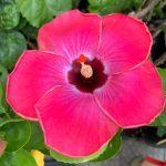 rum runner hibiscus flower