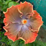 shueisalian galaxy upstart hibiscus flower
