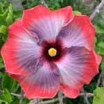 space oddity hibiscus flower