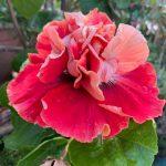standing ovation hibiscus flower