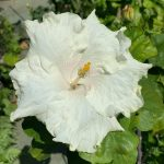 the pearl hibiscus flower