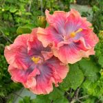 "twin ""wild and romance"" hibiscus flowers"